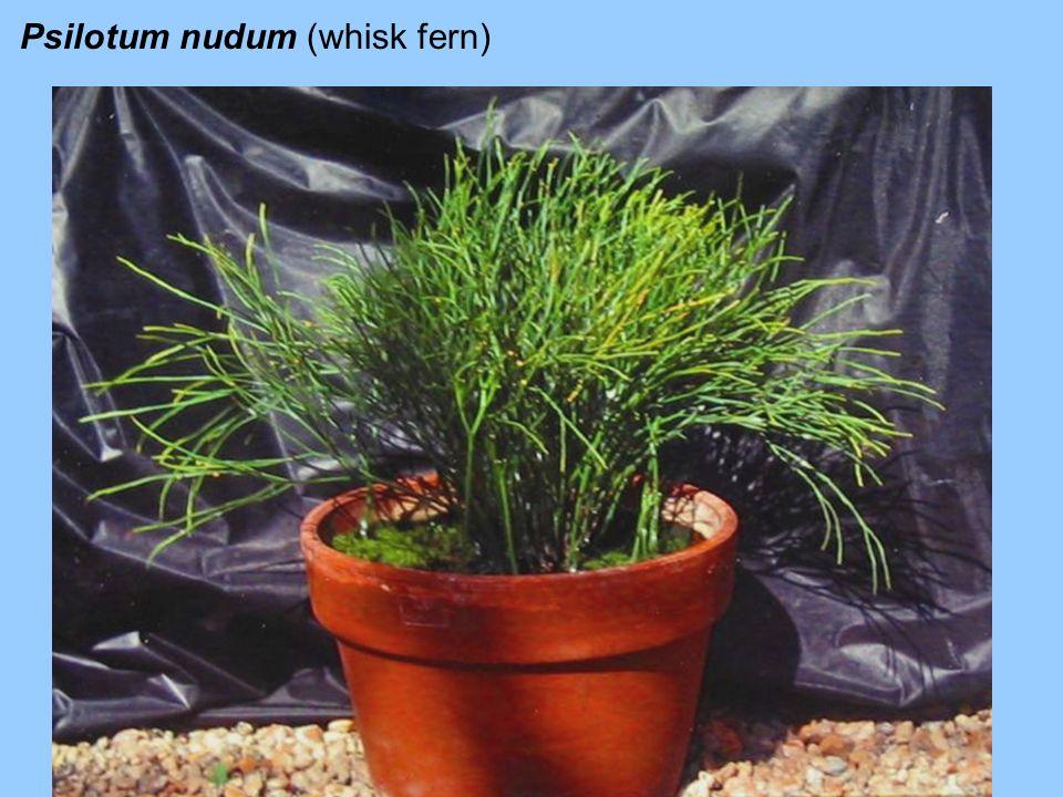 Psilotum nudum (whisk fern)