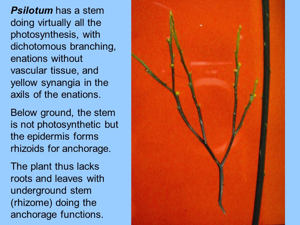 Psilotum has a stem doing virtually all the photosynthesis, with dichotomous branching, enations without vascular tissue, and yellow synangia in the a