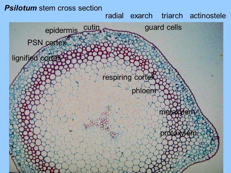 Psilotum stem cross section epidermis cutinguard cells PSN cortex lignified cortex respiring cortex phloem metaxylem protoxylem radialexarchtriarchact