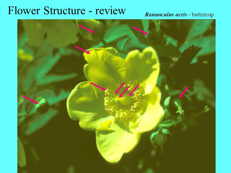 Ranunculus acris - buttercup Flower Structure - review