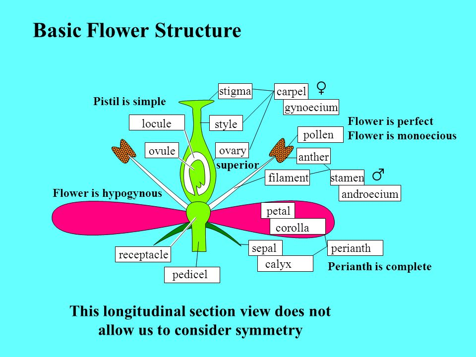 Symmetry: *=radial =bilateral Flower Formula: Symbol Sequence to Diagram Flower Number of Parts per Whorl: sepals in calyx Fusion within whorl: curved line over number Fusion between whorls: square bracket below numbers Attachment of flower parts relative to ovary: horizontal line * * 5, 5,, 5 * 5, * 5, 5,, * 5, 5, petals in corolla stamens in androecium carpels in gynoecium