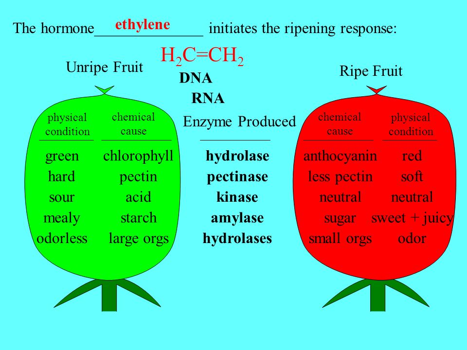 Ripe Fruit chemical cause The hormone______________ initiates the ripening response: ethylene Unripe Fruit physical condition green hard sour mealy od