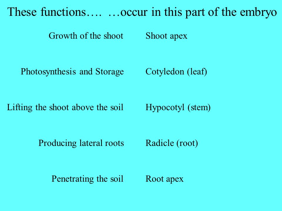 Growth of the shoot Photosynthesis and Storage Lifting the shoot above the soil Producing lateral roots Penetrating the soil These functions….…occur i