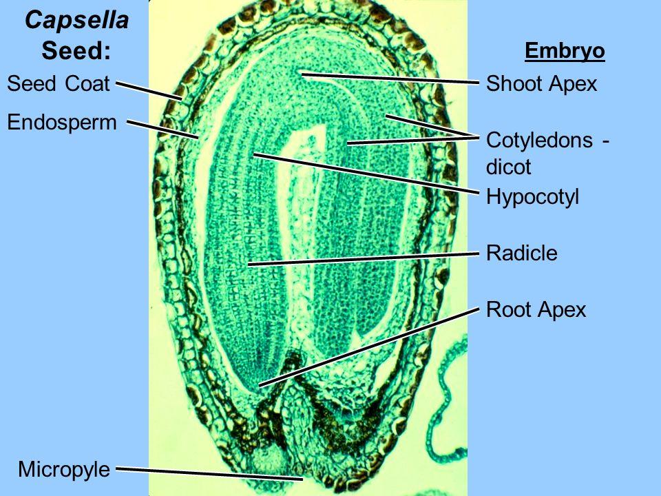 Capsella Seed: Seed Coat Endosperm Embryo Shoot Apex Cotyledons - dicot Hypocotyl Radicle Root Apex Micropyle