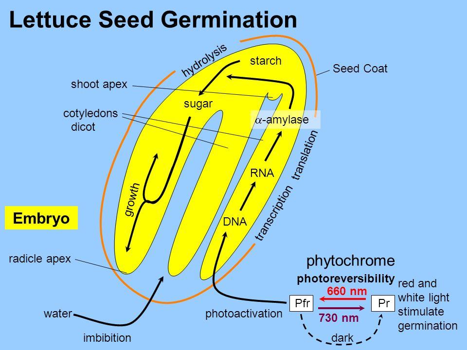 hydrolysis translation transcription Lettuce Seed 660 nm 730 nm dark Seed Coat starch sugar -amylase RNA DNA imbibition water radicle apex shoot apex