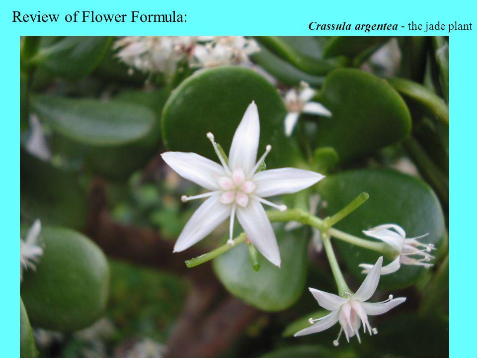 Crassula argentea - the jade plant Review of Flower Formula: