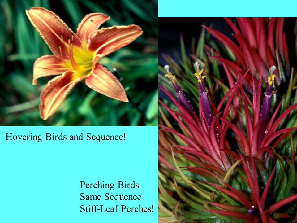 Hovering Birds and Sequence! Perching Birds Same Sequence Stiff-Leaf Perches!