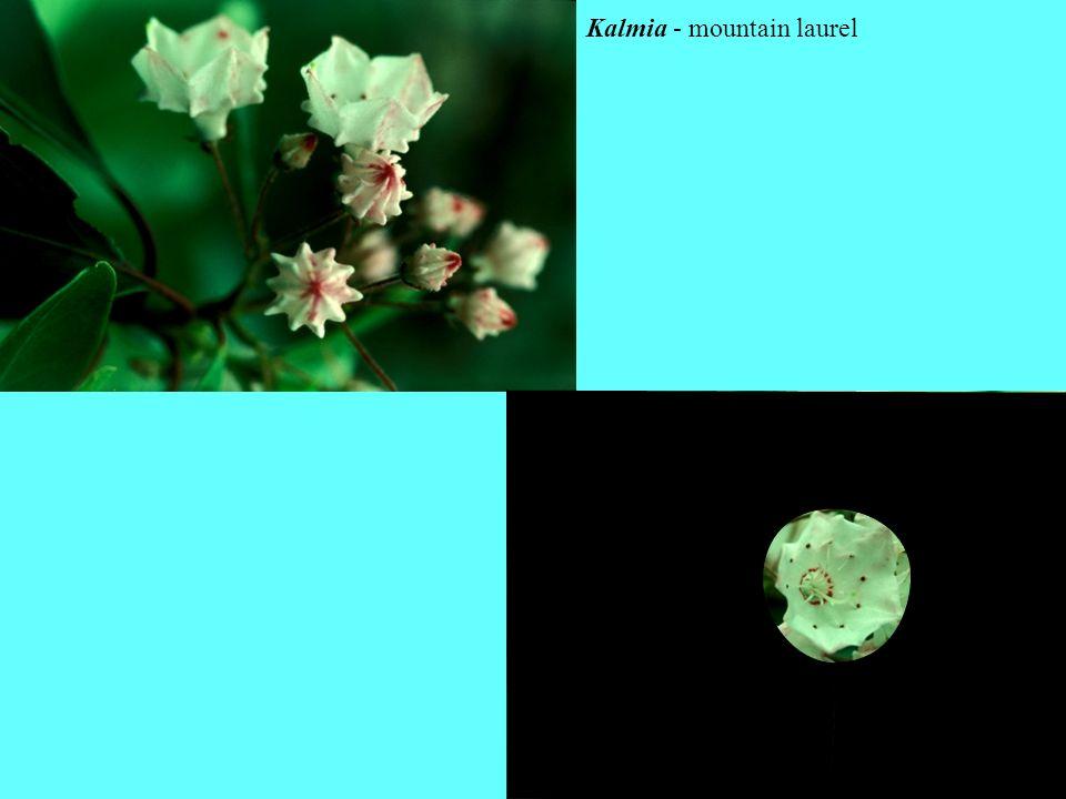 Kalmia - mountain laurel