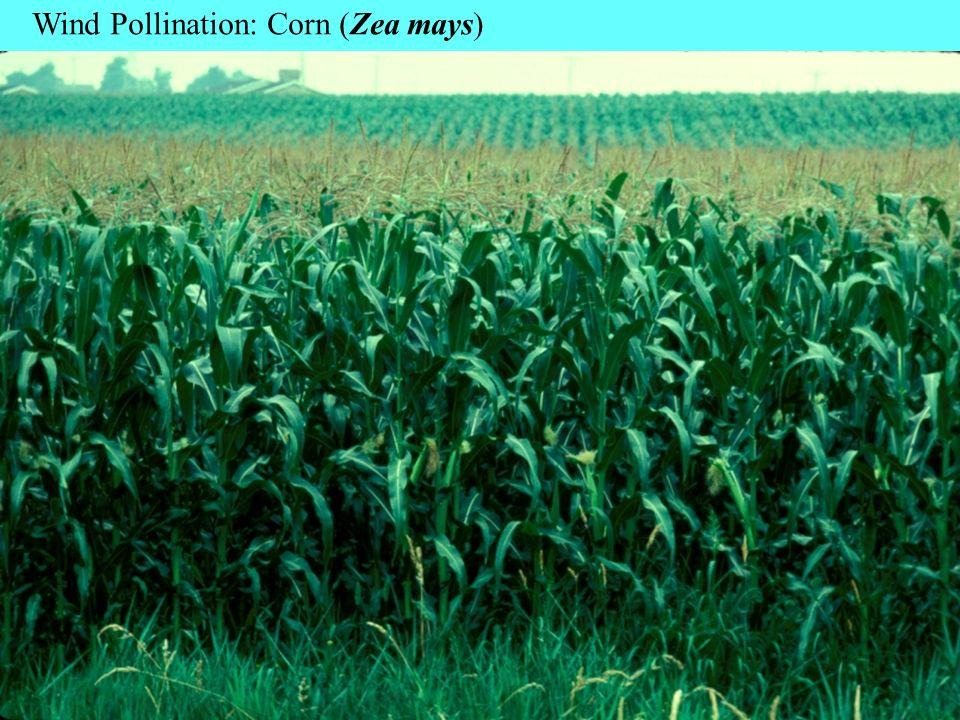 Wind Pollination: Corn (Zea mays)