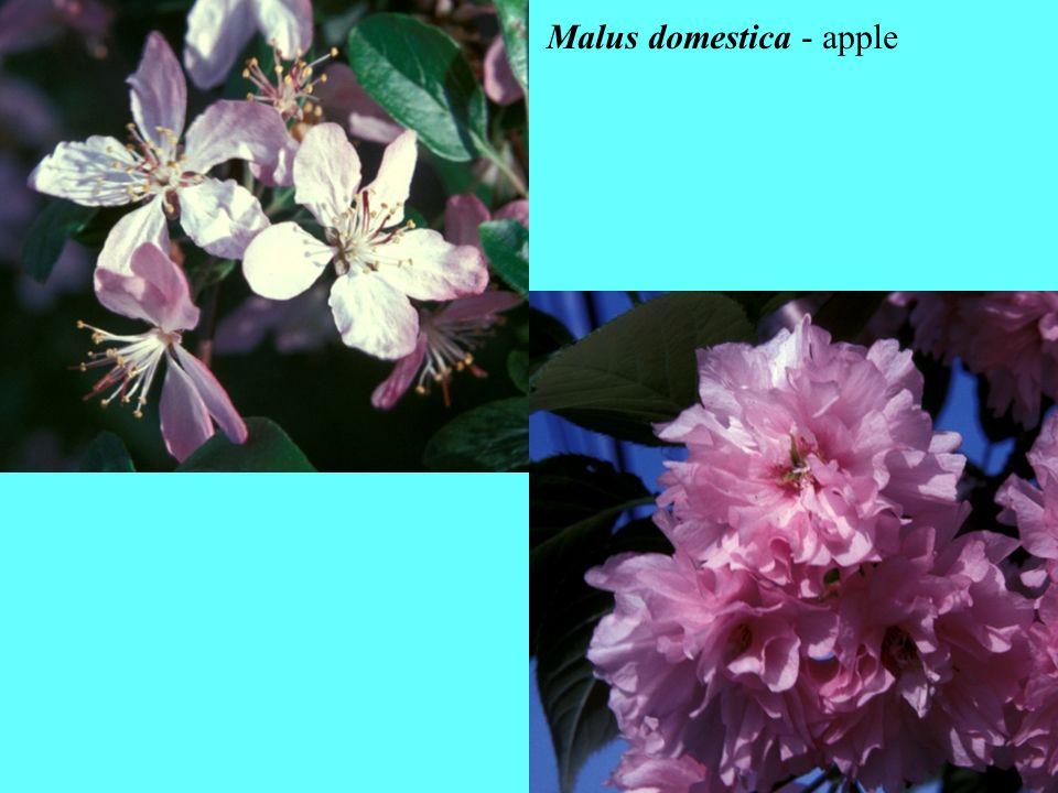 Malus domestica - apple