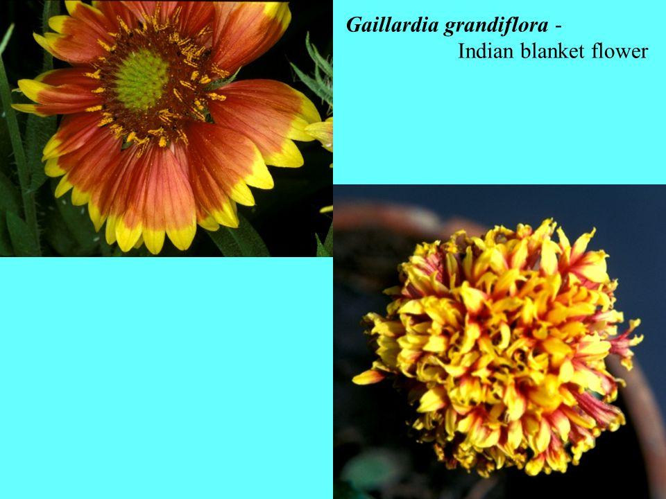 Gaillardia grandiflora - Indian blanket flower