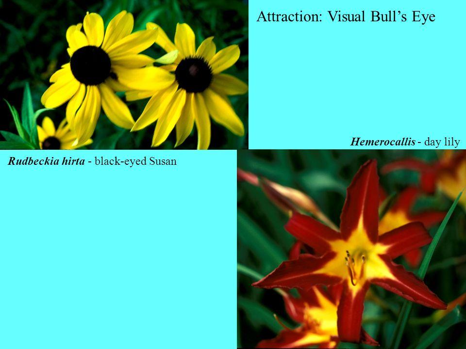 Rudbeckia hirta - black-eyed Susan Hemerocallis - day lily Attraction: Visual Bulls Eye