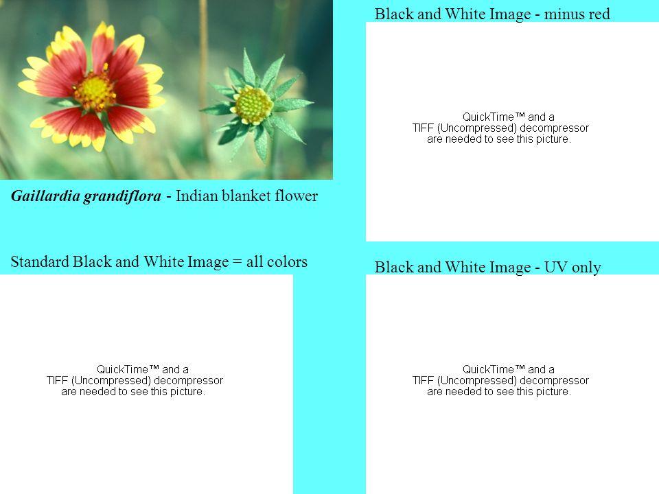 Gaillardia grandiflora - Indian blanket flower Standard Black and White Image = all colors Black and White Image - minus red Black and White Image - U
