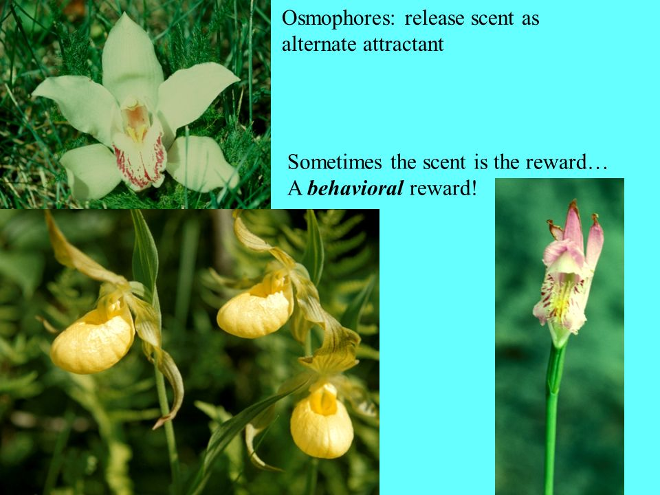 Osmophores: release scent as alternate attractant Sometimes the scent is the reward… A behavioral reward!
