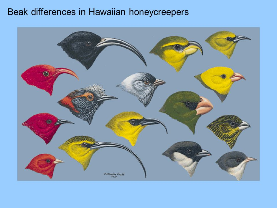 Beak differences in Hawaiian honeycreepers
