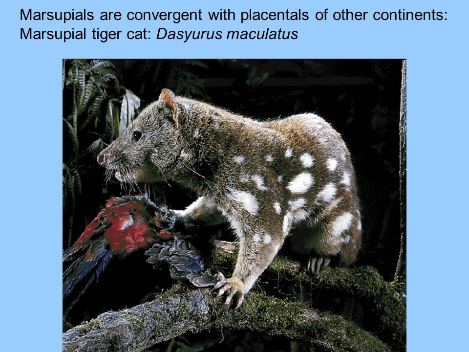 Marsupials are convergent with placentals of other continents: Marsupial tiger cat: Dasyurus maculatus
