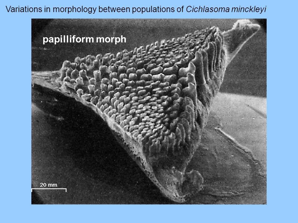 papilliform morph