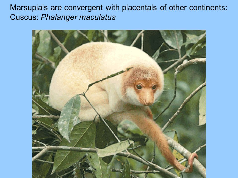 Marsupials are convergent with placentals of other continents: Cuscus: Phalanger maculatus