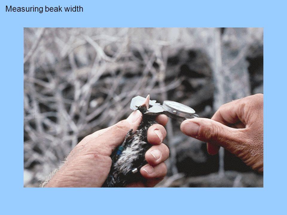 Measuring beak width