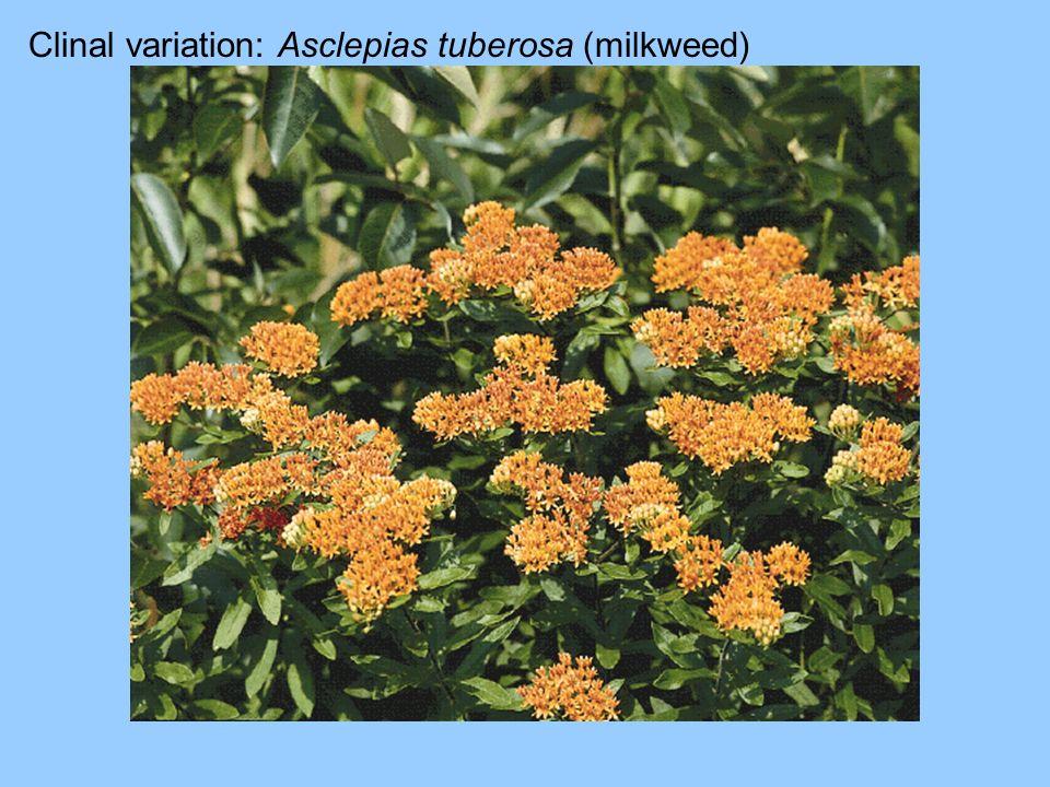 Clinal variation: Asclepias tuberosa (milkweed)