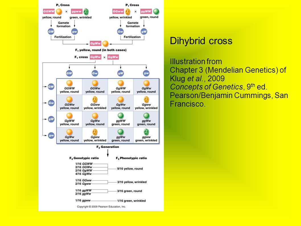 Dihybrid cross Illustration from Chapter 3 (Mendelian Genetics) of Klug et al., 2009 Concepts of Genetics, 9 th ed.
