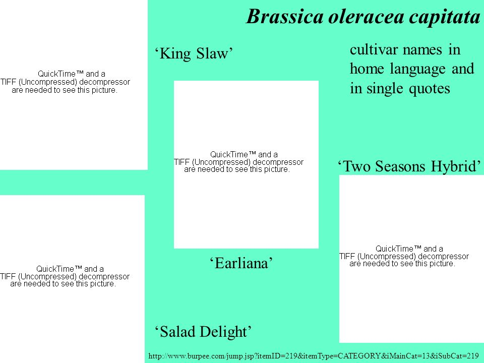 http://www.burpee.com/jump.jsp?itemID=219&itemType=CATEGORY&iMainCat=13&iSubCat=219 Two Seasons Hybrid Brassica oleracea capitata Salad Delight Earlia