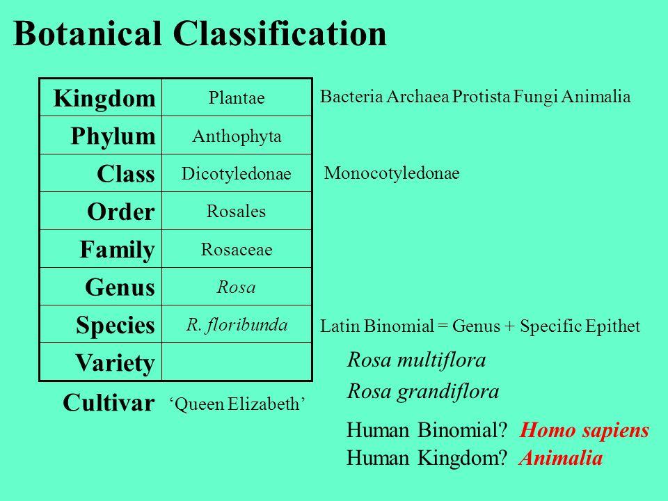Botanical Classification Variety R. floribunda Species Rosa Genus Rosaceae Family Rosales Order Dicotyledonae Class Anthophyta Phylum Plantae Kingdom