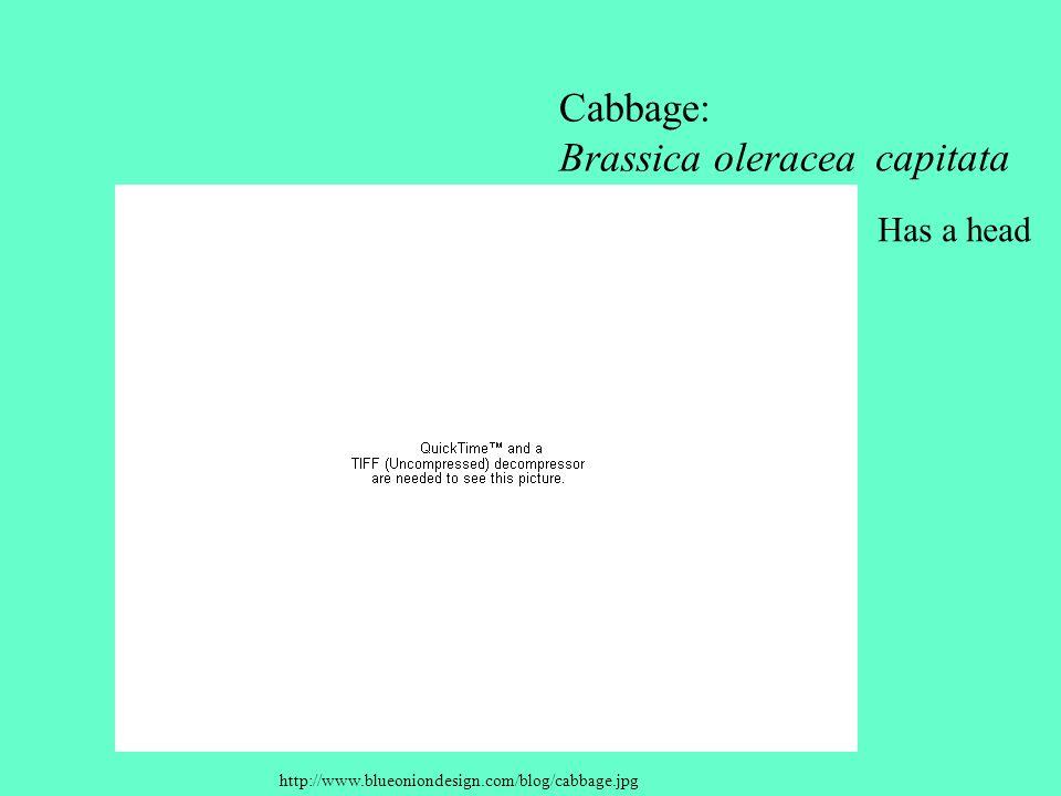 http://www.blueoniondesign.com/blog/cabbage.jpg Cabbage: Brassica oleracea capitata Has a head