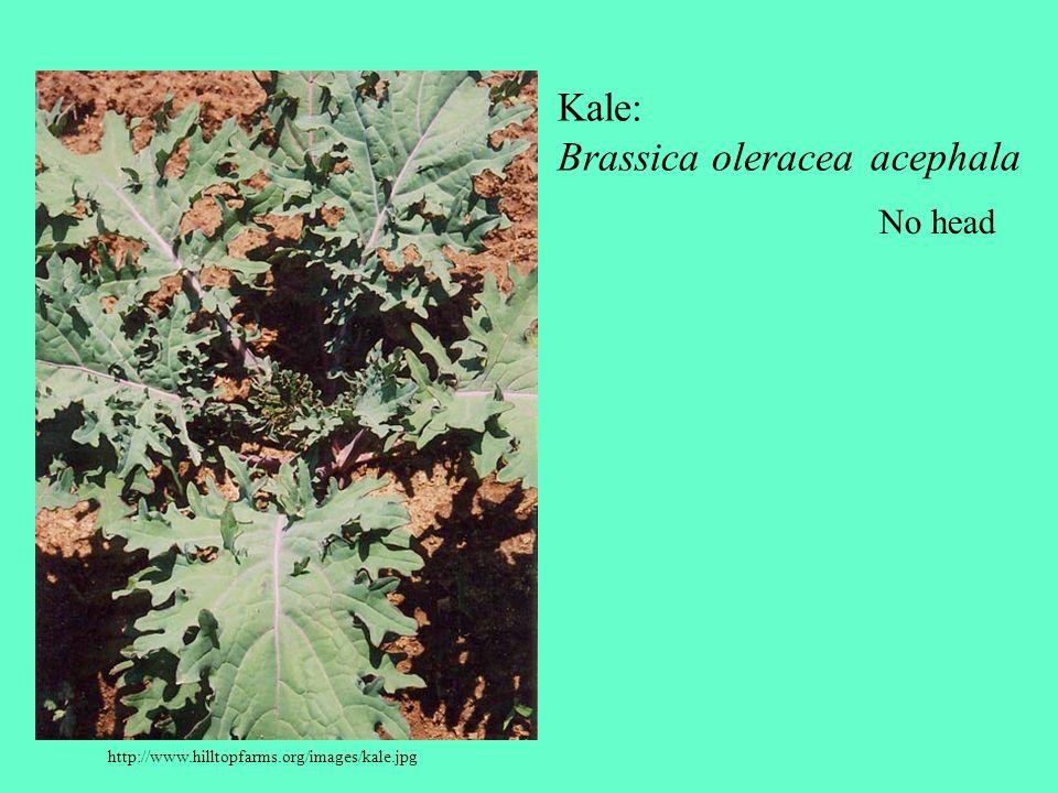 http://www.hilltopfarms.org/images/kale.jpg Kale: Brassica oleracea acephala No head