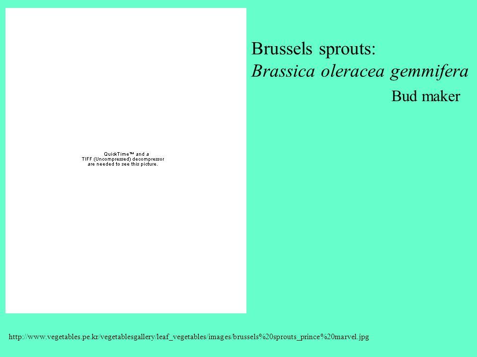 http://www.vegetables.pe.kr/vegetablesgallery/leaf_vegetables/images/brussels%20sprouts_prince%20marvel.jpg Brussels sprouts: Brassica oleracea gemmif