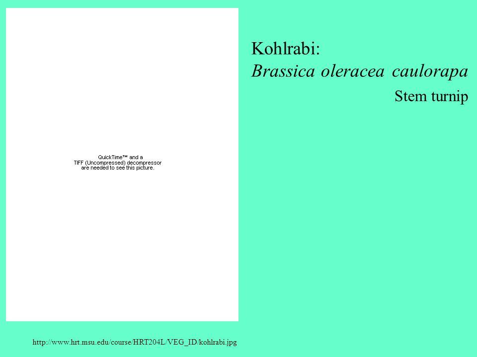 http://www.hrt.msu.edu/course/HRT204L/VEG_ID/kohlrabi.jpg Kohlrabi: Brassica oleracea caulorapa Stem turnip