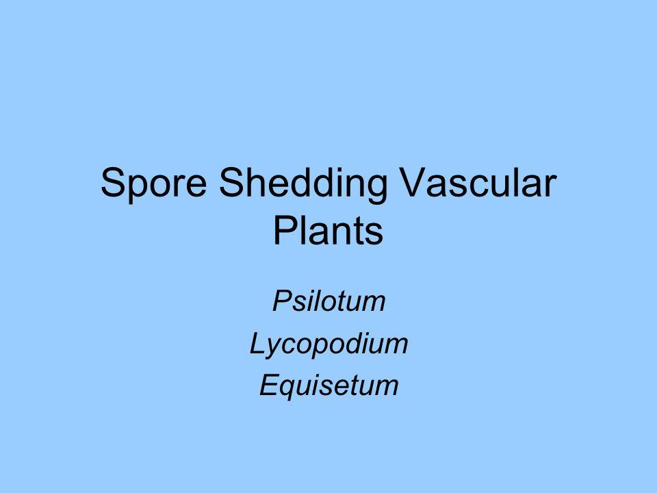 Spore Shedding Vascular Plants Psilotum Lycopodium Equisetum