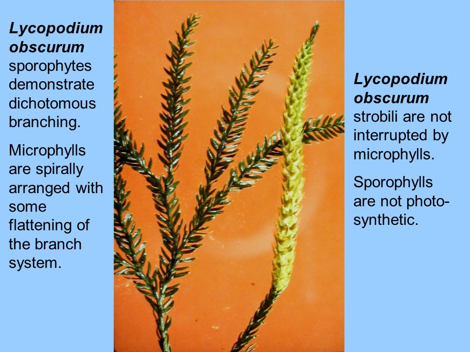 Lycopodium obscurum sporophytes demonstrate dichotomous branching. Microphylls are spirally arranged with some flattening of the branch system. Lycopo