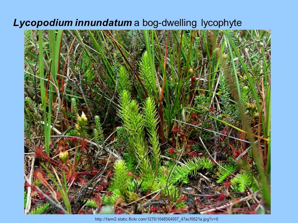 Lycopodium innundatum a bog-dwelling lycophyte http://farm2.static.flickr.com/1270/1048564007_47acf0621a.jpg?v=0