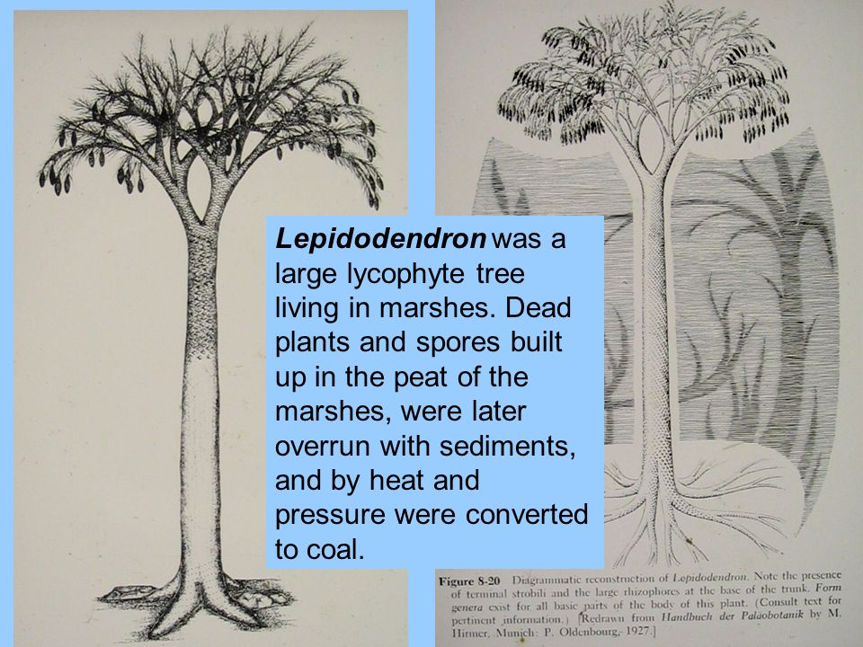 Lepidodendron was a large lycophyte tree living in marshes. Dead plants and spores built up in the peat of the marshes, were later overrun with sedime