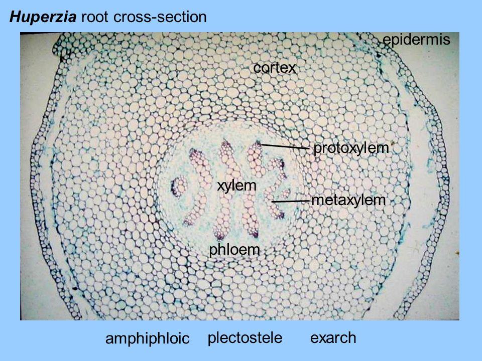 Huperzia root cross-section epidermis cortex phloem xylem plectostele protoxylem metaxylem exarch amphiphloic