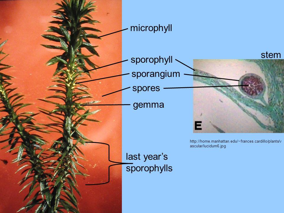 http://home.manhattan.edu/~frances.cardillo/plants/v ascular/lucidum6.jpg microphyll sporophyll sporangium spores gemma last years sporophylls stem