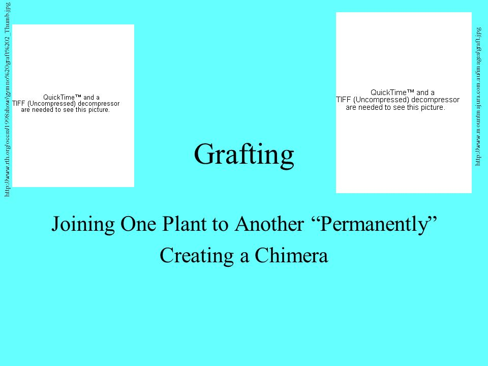 Grafting Joining One Plant to Another Permanently Creating a Chimera http://www.rth.org/occss/1998show/gymno%20graft%202_Thumb.jpg http://www.mountmajura.com.au/images/graft.jpg
