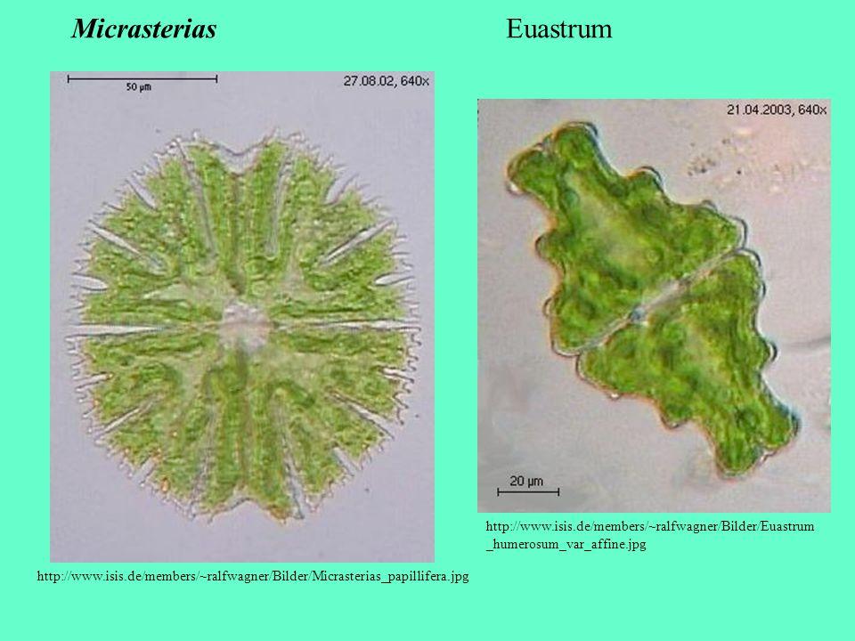 http://www.isis.de/members/~ralfwagner/Bilder/Micrasterias_papillifera.jpg Micrasterias http://www.isis.de/members/~ralfwagner/Bilder/Euastrum _humero