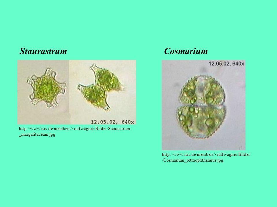 http://www.isis.de/members/~ralfwagner/Bilder/Staurastrum _margaritaceum.jpg Staurastrum http://www.isis.de/members/~ralfwagner/Bilder /Cosmarium_tetr