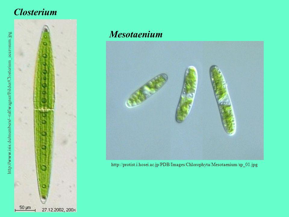 http://www.isis.de/members/~ralfwagner/Bilder/Closterium_acerosum.jpg Closterium http://protist.i.hosei.ac.jp/PDB/Images/Chlorophyta/Mesotaenium/sp_01