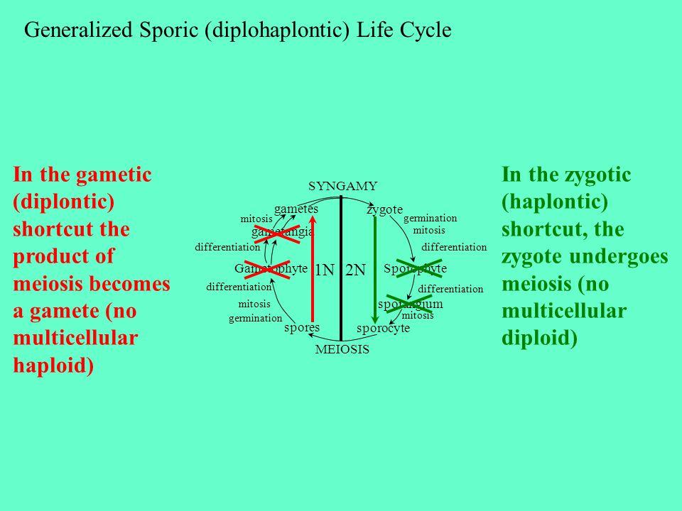 Generalized Sporic (diplohaplontic) Life Cycle SYNGAMY MEIOSIS zygote SporophyteGametophyte sporangium sporocyte spores gametangia gametes germination