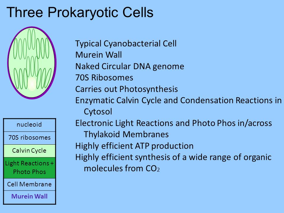 Three Prokaryotic Cells nucleoid 70S ribosomes Calvin Cycle Light Reactions + Photo Phos Cell Membrane Murein Wall Typical Cyanobacterial Cell Murein