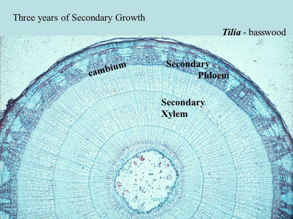 Three years of Secondary Growth Tilia - basswood Secondary Xylem Secondary Phloem cambium