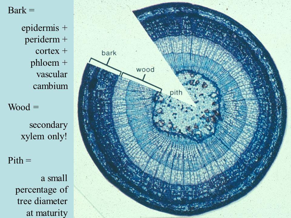 Bark = epidermis + periderm + cortex + phloem + vascular cambium Wood = secondary xylem only! Pith = a small percentage of tree diameter at maturity