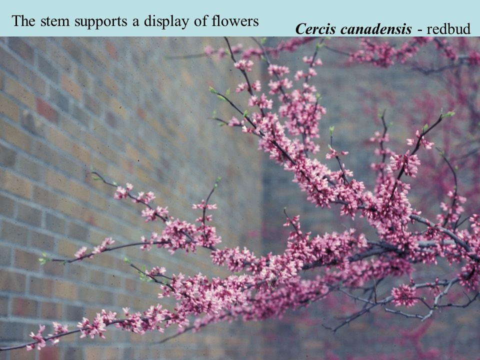 Cercis canadensis - redbud The stem supports a display of flowers