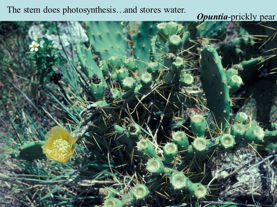 The stem does photosynthesis…and stores water. Opuntia-prickly pear