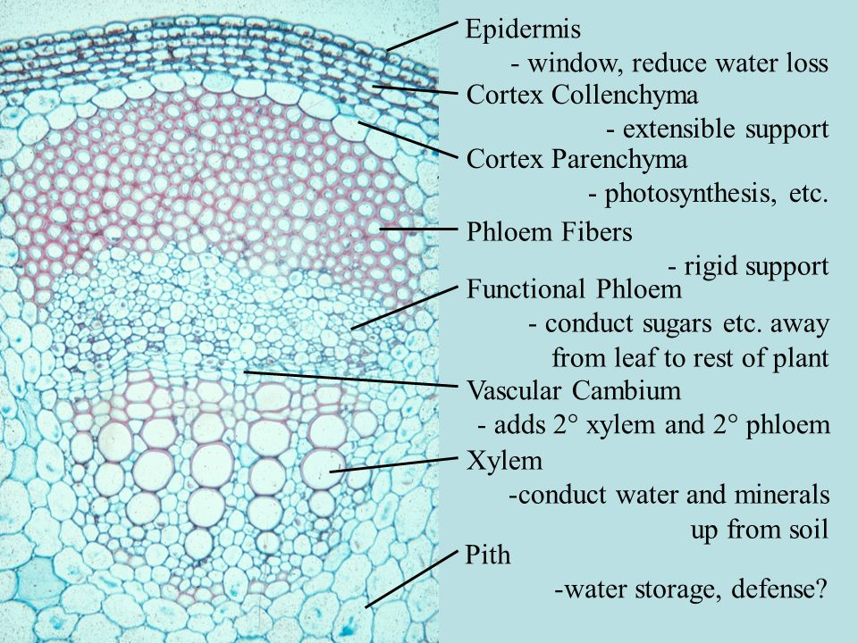 VIP Stem: Provide both name and function labels: outside to center Epidermis: reduce evaporation, gas exchange Cortex: photosynthesis, collenchyma support Vascular Bundles: conduction Pith: water storage.
