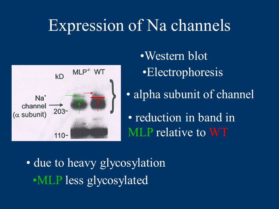 Expression of Na channels Western blot Electrophoresis alpha subunit of channel reduction in band in MLP relative to WT due to heavy glycosylation MLP less glycosylated