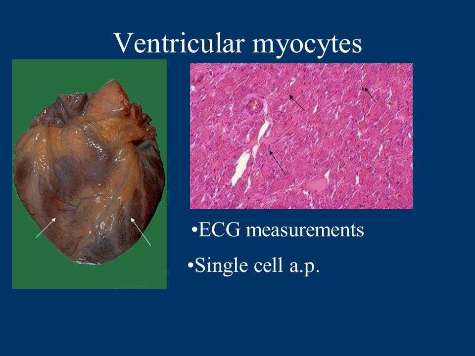 Ventricular myocytes ECG measurements Single cell a.p.